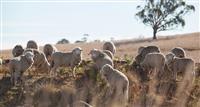 Guyra sheep