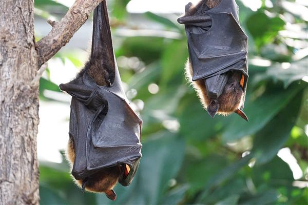 Flying Fox Camp Management Plan  adopted by Council
